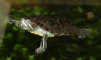 ÇANKAYA BELEDIYESI - Barınaktaki Papağan Ve Su Kaplumbağası Yuva Arıyor
