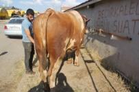 HAYVAN - 30 Bin Lira Değerindeki 'Polat' Alıcısını Bekliyor