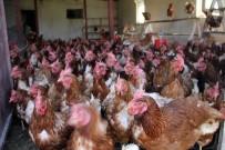 ORGANİK YUMURTA - 5 Tavukla Başladı, Şimdi 500 Tavuğu Var