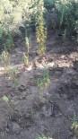 Manisa'da Ormanlık Alanda Zehir Tarlası