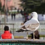 KARAKÖY - Boğaz'ın Simgesi Martıların Balık Ziyafeti Kamerada