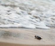 CARETTA CARETTA - Yavru Kaplumbağalar Akdeniz'den Dünyaya İlk Adımlarını Attı