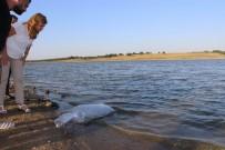 SU ÜRÜNLERİ - Göletlere 33 Bin Yavru Sazanlar Bırakıldı