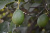 TARıM - Dalaman'da Limon İhalesi