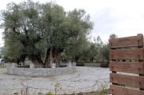 ZEYTİN AĞACI - En Fazla Sofralık Zeytin Ağacı Manisa'da