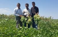 KURU FASULYE - Kayseri Şeker'in Sözleşmeli Fasulye Ekiminde Hasat Başladı