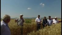 TARıM - Müdür Ender Muhammed Gümüş Açıklaması 1 Dekardan 800 Kilogram Buğday Hasat Edildi