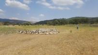 KAYAKÖY - Kütahya'da Kaz Üreticiliği Hızla Artıyor