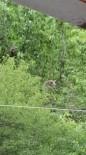 Posof'ta İki Ayı Evin Bahçesindeki Ağacın Tepesine Çıktı