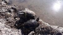 HAYALET - Balıkçı Ağlarına Av Olan Su Kaplumbağaları Kurtarıldı