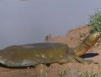 FIRAT NEHRİ - 'Fırat kaplumbağaları' uydudan izlenecek