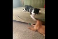 BOKSÖR - Boksör Kedi Köpeği Fena Benzetti