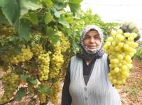 İSVEÇ - Sarıgöl'de Üzüm Hasadına Başlandı