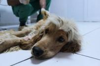HAYVAN BARINAĞI - Terkedilen Köpeğin Kırık Kemiği Ameliyatla İyileştirildi