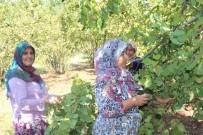 Ege Türküleri İle Fındık Hasadı