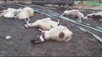 ÖRENCIK - Kurtlar Ahırda 14 Koyunu Telef Etti