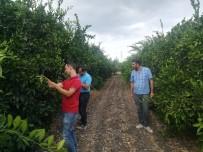 KARANTINA - Akdeniz Meyve Sineği İle Mücadele Timi Görevde