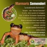 KıZıLKAYA - Marmaris Semenderi'nin Nesli Tükenmesin