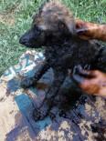 YAVRU KÖPEKLER - Zifte Bulanan Yavru Köpekler 5 Teneke Zeytinyağı İle Temizlendi