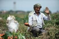 TARIM İŞÇİSİ - Dolu Mevsimlik İşçilerini De Vurdu