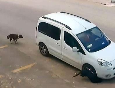 Antalya'da köpekleri bilerek ezen sürücü gözaltına alındı