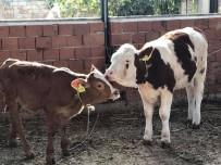 KONUKLU - Ayşe Efe, Hayvanlar İçin Köyüne Su İstiyor