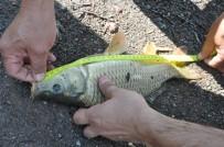 AVCILIK - Balık Tutkunları Musaözü Göleti'nde Kıyasıya Yarıştı