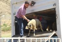Sason'da 9 Çiftçiye 333 Adet Koyun Dağıtıldı
