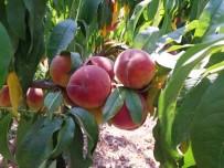 DOKU KÜLTÜRÜ - Çarşamba Ovası'nda Şeftali Üretimi Artıyor