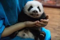 PANDA - Çin'deki Dev Pandalar Depremden Etkilenmedi