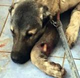 HAYVAN SEVERLER - Mardin'de Yaralanan Köpekler İstanbul'da Tedavi Edilecek