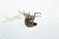 AKREP - Niğde'de Sarıkız Örümceği Kabusu