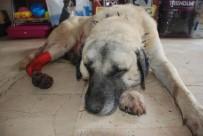 ÇOBAN KÖPEĞİ - Baltalı Saldırıya Uğrayan Kangal Köpeği Tedavi Altına Alındı