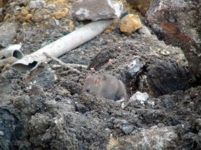 İstiklal Caddesi'ni fareler bastı