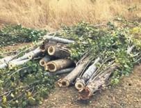 AĞAÇ KESİMİ - Sözde ağaç severlerden 5 katliama tepki sıfır