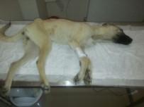 YARDIM ÇAĞRISI - Hasta Sokak Köpeği İçin Hayvanseverler Seferber Oldu