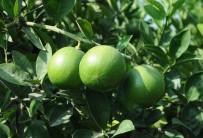 UKRAYNA - Mersin'de Limon Hasadı Başladı