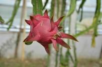 TROPİKAL MEYVE - Muğlalı Çiftçinin Alternatif Ürün Umudu Açıklaması Ejder Meyvesi