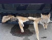 ÇAKAL - Arabanın altına çakal sıkıştı!