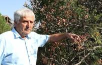 ÇITLEMBIK - Menengiç Ağaçlarında Aşılamayla Antep Fıstığı Üretiliyor