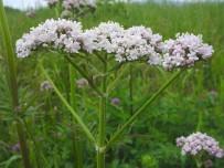 ANTIDEPRESAN - 'Sinir Sisteminizi Doğal Bitkilerle Rahatlatın'