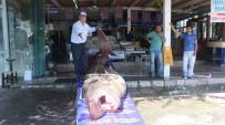 KÖPEKBALIĞI - 1 Ton 200 Kiloluk Köpekbalığı Yakalandı