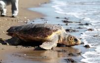 YUMURTA - Ergene Açıklaması 'Deniz Kaplumbağalarını İnsanlar Saldırganlaştırıyor'