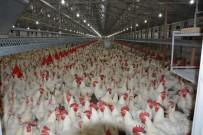 YUMURTA - Gezen Tavuk Uyarısı