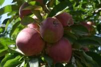Iğdır'da Elma Dalında Kaldı