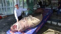 KÖPEK BALIĞI - 1 Ton 200 Kiloluk Köpek Balığı Yakalandı