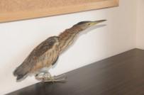 BALABAN - Nesli Tükenmekte Olan Kuş Türü Bulundu