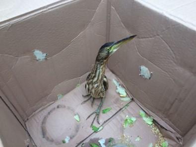 Nesli tükenmekte olan kuş kaportadan çıktı