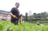 Çay Toplayan Gürcü İşçileri Kemençe İle Motive Ediyor