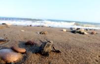DENİZ KAPLUMBAĞALARI - 55 Bin Yavru Deniz Kaplumbağası Denizle Buluştu